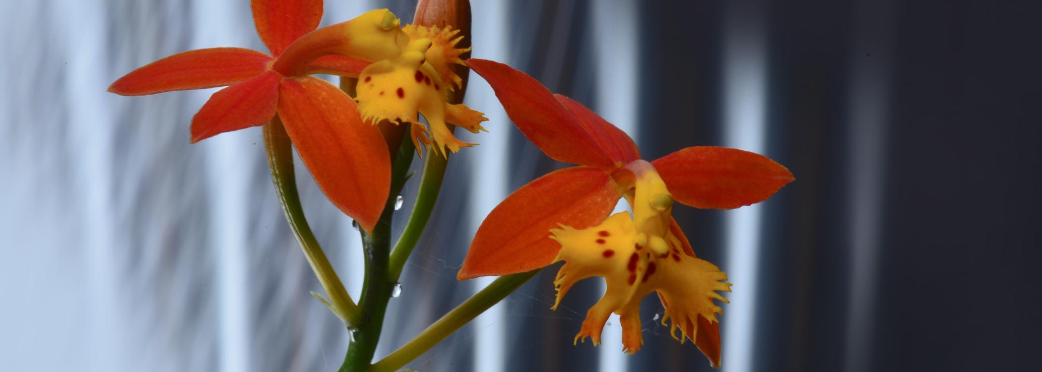 Orquídea Amazónicas