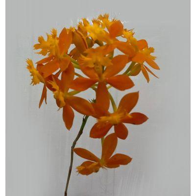 Epidendrum Ibaguense