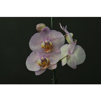 Orquídea Pinteada