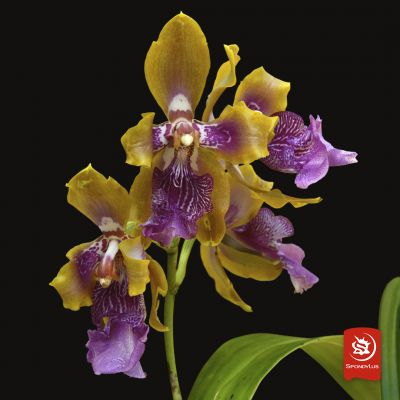 Odontoglossum Wyattanum