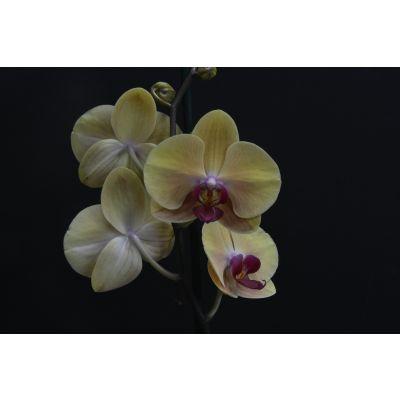 Orquídea Amarilla Mapoles