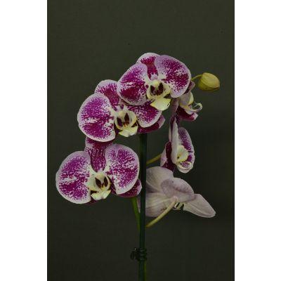 Orquídea Marmoleada