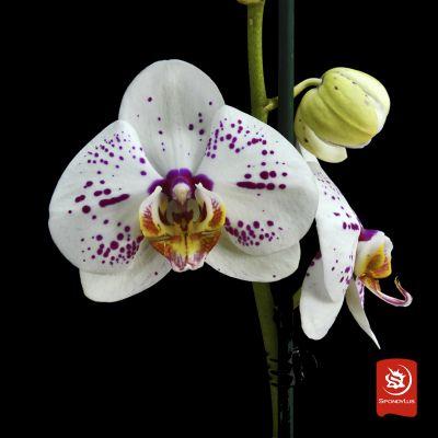 Orquídea Blanca con violeta