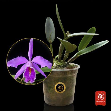 Catteya maxima - Planta