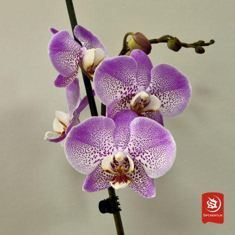 Orquídea Silion