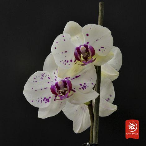 Orquídea San Sebastian