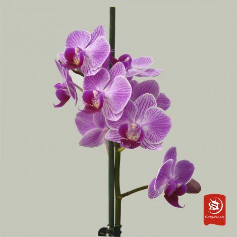 Orquídea Vietnam