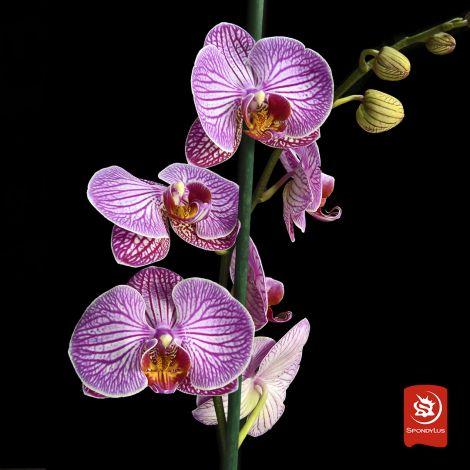 Orquídea Romanion